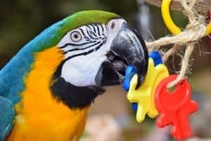 Macaw plays with toys