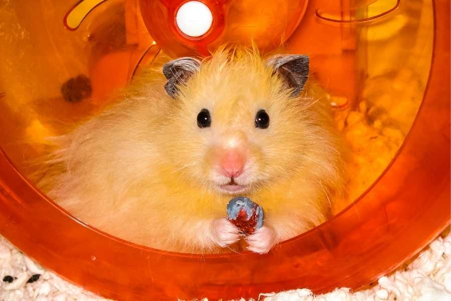 Long haired hamster in cage