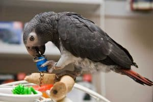 Parrot play gym