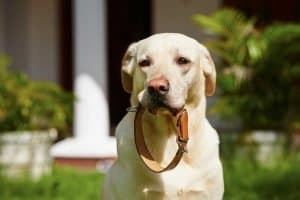 Dog with chew proof collar