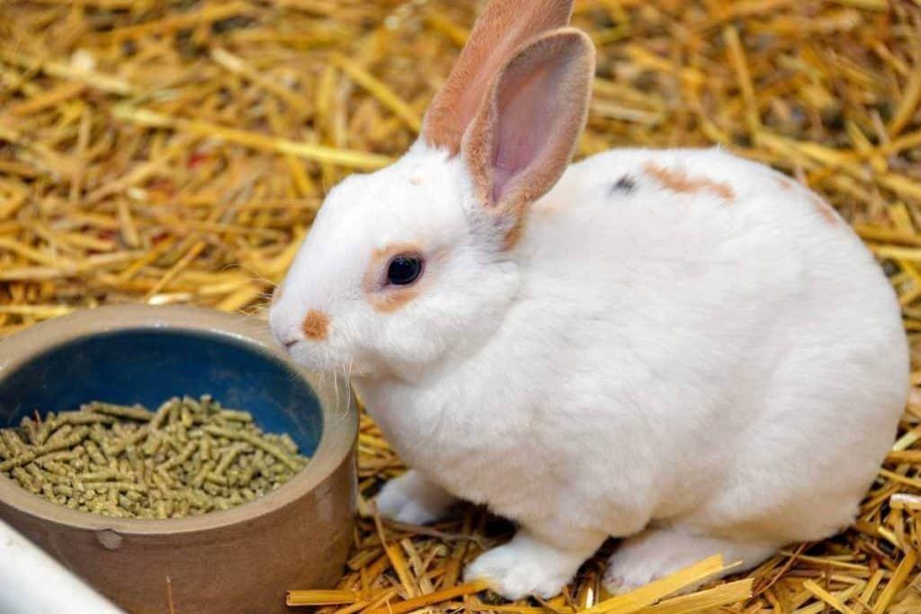 Rabbit eats pellets
