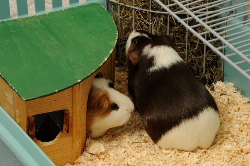 Guinea pig eats hay
