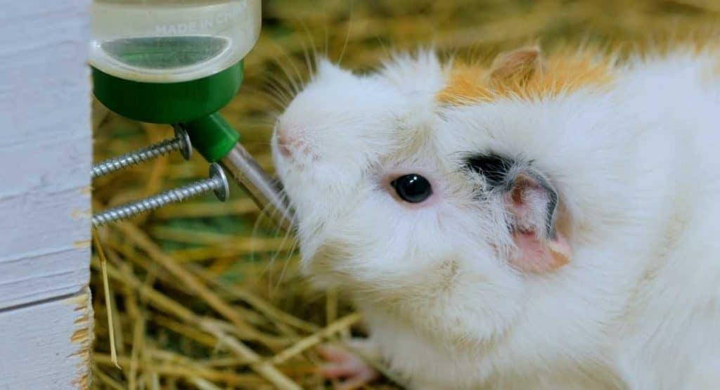 Guinea pig drinks water.