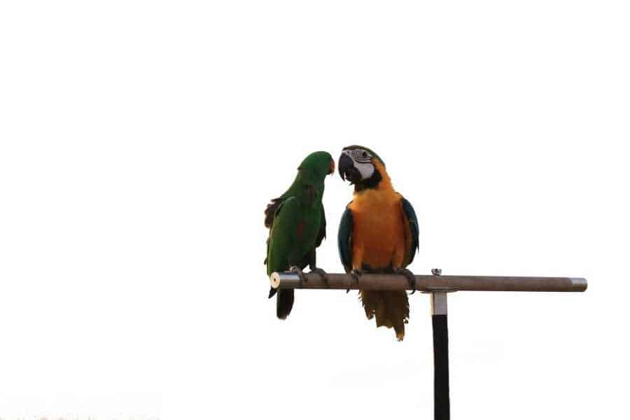 Two parrots stand