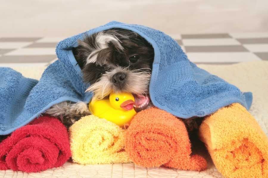 shih tzu puppy after bathing