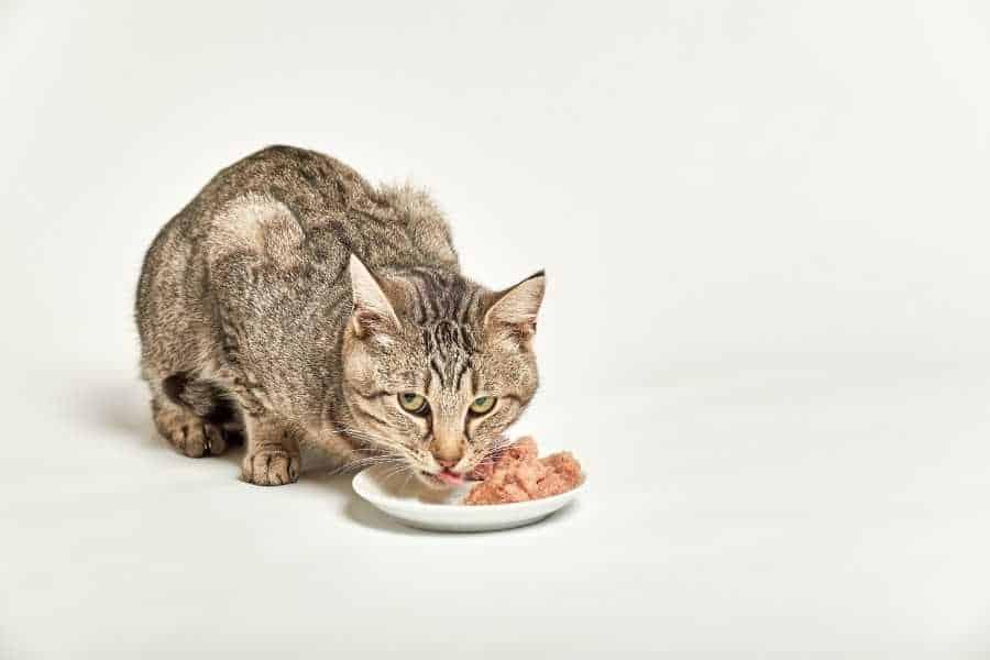 Cat eats her food