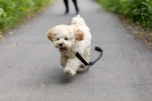 Maltipoo running