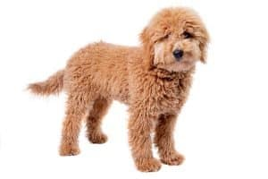 Mini goldendoodle weight