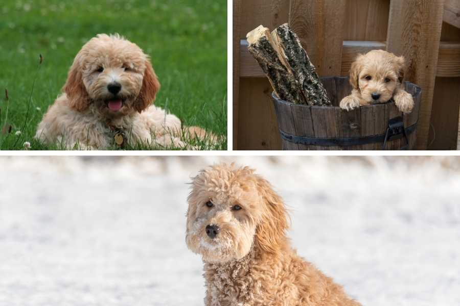 Goldendoodles in different places