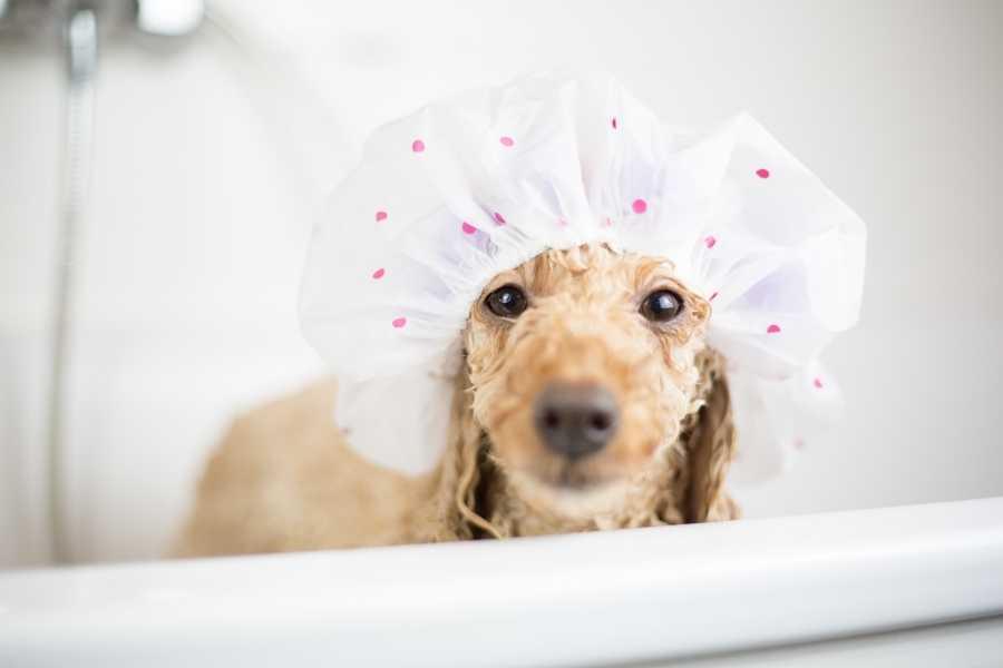 Poodle is bathing