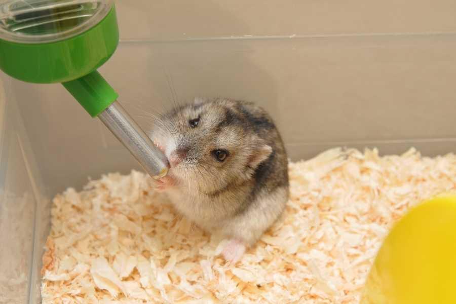 hamster drinks water