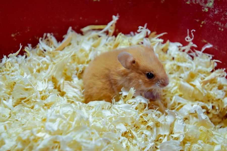 hamster in his bedding
