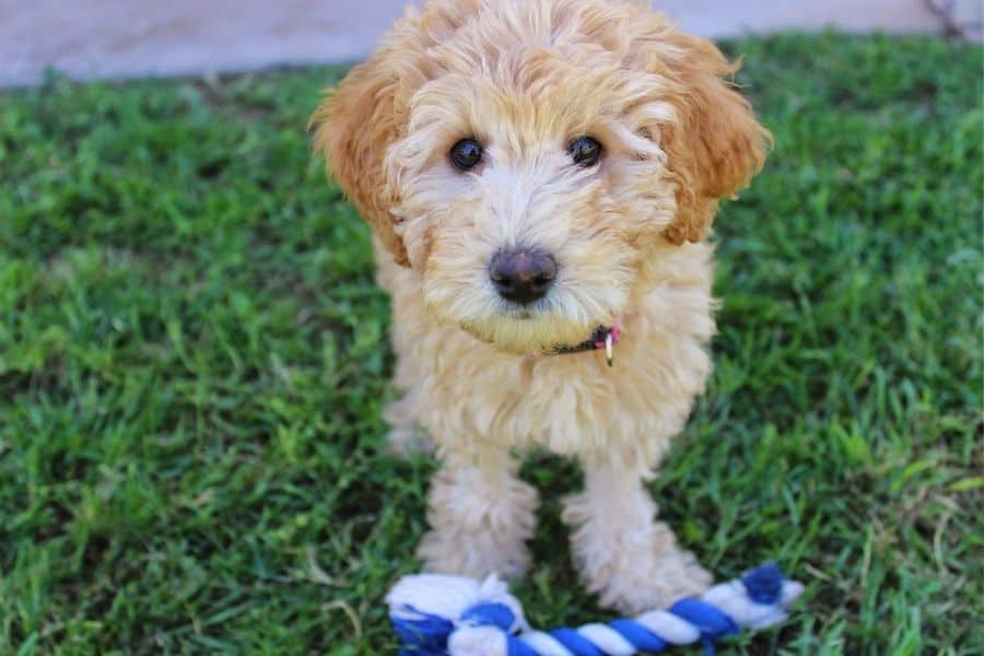 Labradoodle puppy in backyard